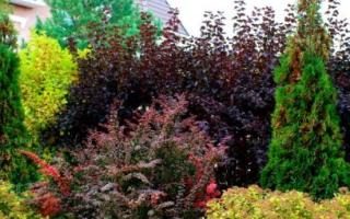 Декоративные кустарники для сада на даче