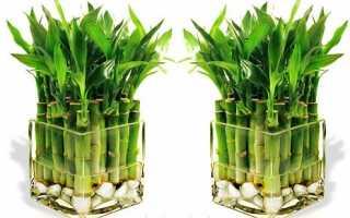 Комнатный бамбук – уход в домашних условиях, виды и посадка