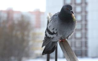 Как отвадить голубей с крыши балкона?