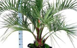 Декоративная комнатная пальма